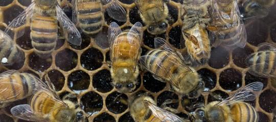 api rischio estinzione produzione miele