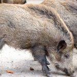 Foraggiamento di maiali selvatici per battute di caccia di successo